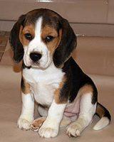 p.beagles.SM.jpg