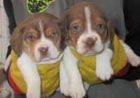 BEAGLE_PUPS__element933.JPG