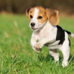 The Varieties Of Beagle Size