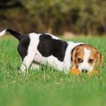 Beagle Training Tips for Novice Pet Owners
