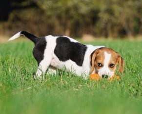 beagle training